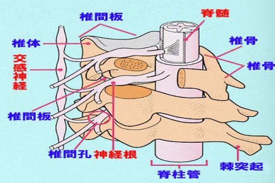 頚椎の解剖図イラスト