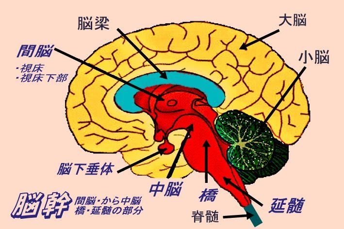 脳の画像イラスト