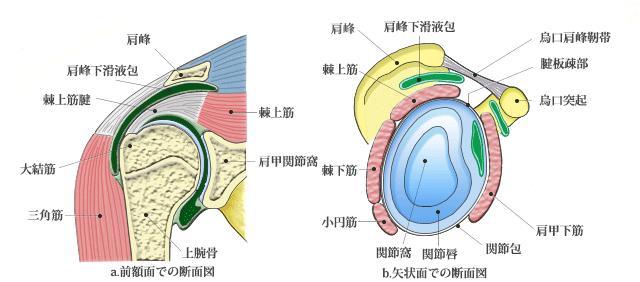 肩関節解剖図画像